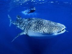 There are many swim with whale sharks tours in Thailand