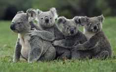 too.much. I love Koalas