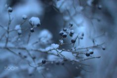 Winter berries by Katalin Bölcskei - Photo 134826509 - 500px