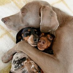 Pin by Chantel Erickson on Harlow, Indiana, Sage, Reese, & Friends Weimaraner Puppies, Dachshund Puppies, Cute Puppies, Cute Dogs, Dogs And Puppies, Doggies, Cute Funny Animals, Funny Animal Pictures, Dog Pictures