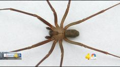 Doctors have seen an increase in the number of people bitten by brown recluse spiders. Here's what you need to know to stay safe.