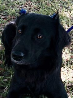 Meet Margo -- for adoption  • Border Collie • Young • Female • Medium adoptable with Buster's Friends in Houston, TX