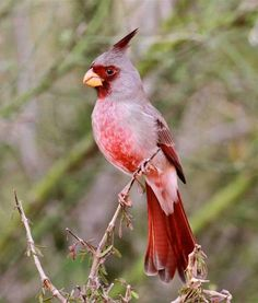 A beautiful male Pyrrhuloxia (Cardinalis sinuatus) makes a surprise visit to the visitor's center at Laguna Atascosa National...
