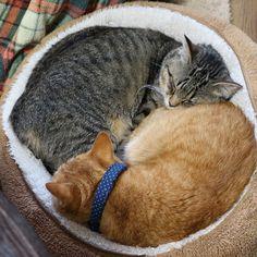 「#トラ猫祭 だよ~ てんの割合が多くなってきた 、  #cat #猫 #茶トラ #もふもふ #happy_pet #catsofinstagram #catstagram #ふわもこ #猫部 #キジトラ」