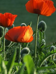 Poppies remind me of the South of France    My French Country Home, French Living - Sharon Santoni