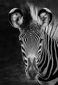 Black on white, white on black--it still tastes like zebra to the lion. Animals And Pets, Baby Animals, Cute Animals, Wild Animals, Mundo Animal, My Animal, Beautiful Creatures, Animals Beautiful, Wild Creatures