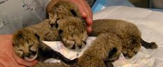Video Of The Week - Cincinnati Zoo Debuts Adorable Newborn Cheetahs Kids News Article