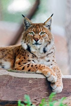 Big Cats-- Lying and posing lynx (by Tambako the Jaguar) Huge Cat, Big Cats, Cool Cats, Cats And Kittens, Siamese Cats, Chat Lynx, Beautiful Cats, Animals Beautiful, Animals And Pets