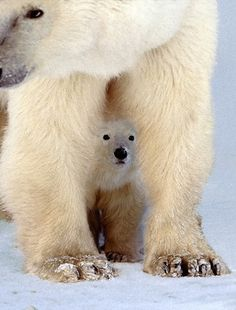 Polar bear.  Is it safe mom?