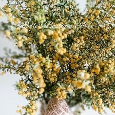 Dried Wattle flowers Australian Native flora yellow preserved | Etsy