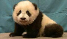 The Panda Baby (Hua Mei)