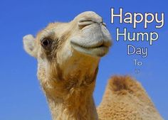 Happy Hump Day To You wednesday hump day humpday hump day camel wednesday quotes happy wednesday wednesday quote happy wednesday quotes Wednesday Hump Day, Happy Wednesday Quotes, Wednesday Humor, Hump Day Camel, Camelo, Gaps Diet, Real Friends, Deserts, Old Things