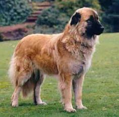 The Cão da Serra da Estrela is a dog breed native to Portugal. Originating in the Serra da Estrela, this large breed is traditionally used as a guardian of herds. Its appearance is similar to the Spanish Mastiff.