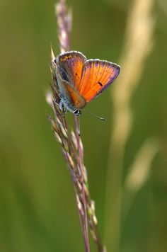 Lilagold-Feuerfalter (Lycaena hippothoe) Beautiful Butterflies, Moth, Insects, Butterfly, Animals, Animales, Animaux, Animal, Animais