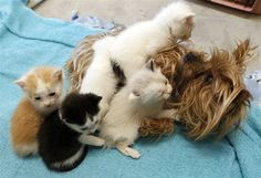 A little Yorkie adopted these little kittens after her puppies passed away. So sweet.