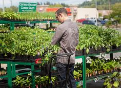 Shop our BIG selection of local, certified organic vegetable and herb starts at the Co-op garden centers. Just in--peppers and tomatoes from Sunseed Farms in Acme!
