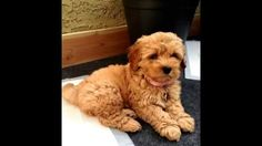 Attached music is hella annoying but this apricot maltipoo is so perfect Maltipoo Dog, Yorkie, Puppies That Dont Shed, Maltese Poodle Mix, Poodle Puppies, Cute Puppies, Dogs And Puppies, Doggies, Yorkies