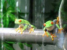 Agalychnis callidryas en chambre de pluie : parade des mâles - YouTube