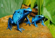 The Poison Dart Frog - the indigenous Amerindians' use their toxic secretions to poison the tips of blowdarts - i had the pleasure of seeing these at the London Zoo. What perfect and beautiful creatures.