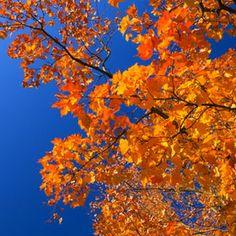 Orange and blue. Autumn leaves against blue sky.