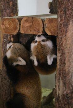 茶臼山動物園で昨年7月に生まれた双子のポポとジャジャ Red pandas レッサーパンダ 小熊猫