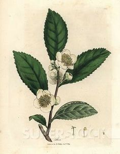 Tea Plant Drawing