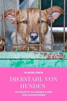 Besonders Hunde von Rassen, die im Trend liegen, sind von Tierdieben bedroht. Wir verraten dir, wie du verhindern kannst, dass dein Hund gestohlen wird. Animal Shelter, Goats, Corgi, Animals, Toller Dog, Animal Shelters, Animaux, Corgis, Animal