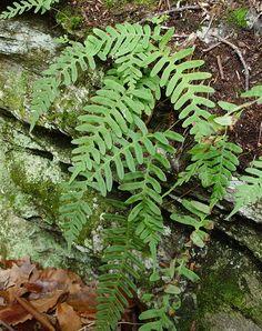 Common Polypody AKA Rock Cap Fern (Polypodium virginianum)