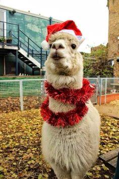 Christmas llama!
