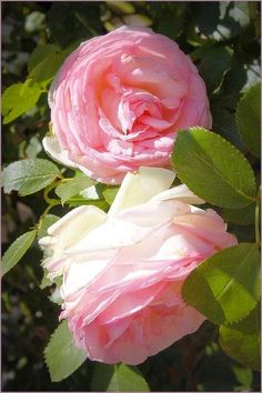Pierre de Ronsard Rose by Abby Lanes on Flickr..