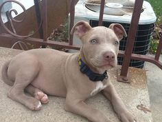 What is a blue fawn pitbull?