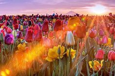 Tulip Field Sunset, Skagit, Washington  Visit our Page -►Wildlife and Nature Pictures ◄- For more photos