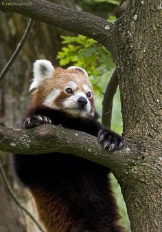 adventure red panda. Bravely going where no red panda has gone before. :P