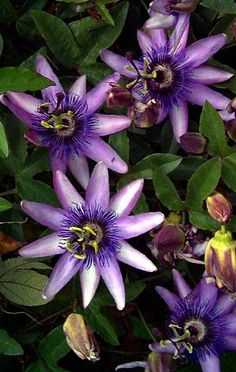 "Lavender Lady Passion Flower - Passiflora - Indoors/Out! - 4"" Pot"