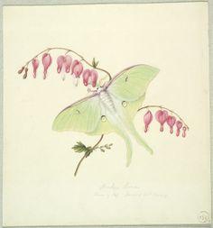 Miss Harris, Luna Moth on a Bleeding Heart, century, Harvard Art Museums/Fogg Museum. Except with a dragonfly Bleeding Heart Tattoo, Bleeding Heart Flower, Bleeding Hearts, Lunar Moth Tattoo, Moon Moth, White Gouache, Harvard Art Museum, Skin Art, Body Art Tattoos