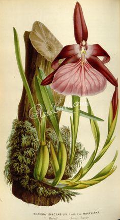 miltonia spectabilis moreliana      ...