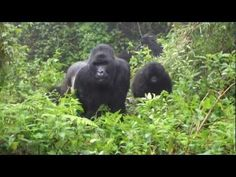 After watching the group of Gorillas for an hour, which is all you get with the family when you visit them in Rwanda. We were told by our guide that we had a. Roosters, Blessings, Blessed, Peace, Group, Youtube, Animals, Animales, Animaux