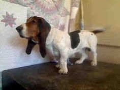 A4565084 ***URGENT*** Baldwin Park Animal Shelter is an adoptable Basset Hound Dog in Baldwin Park, CA. **WE NEED VOLUNTEERS TO POST & REMOVE PETS ON PETFINDER. IF YOU CAN COMMIT TO THE CAUSE OF HELPI...