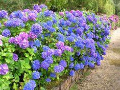 Les conseil de Larry Hodson pour faire fleurir les hydrangees macrophylla en zone 4 ou 5.