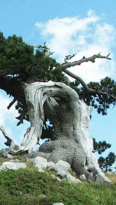 Old Crooked Tree