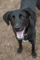 Jake is an adoptable Labrador Retriever Dog in Frankfort, KY. Jake is a young lab mix who is very energetic. He loves to go for walks and also likes to sit in the sun with you and be hugged on. He is ...