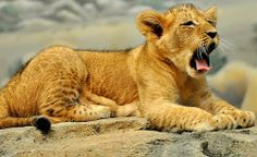 African lion cubs | photo