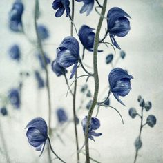 deadly beauty by Priska Wettstein  Aconitum delphinifolium, very poisonous, but beautiful