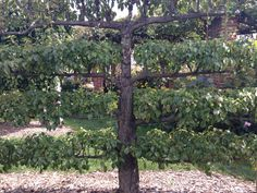Espalier at Chicago Botanic Garden, beauty.