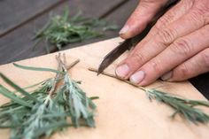 Trimming the heel pf the lavender cutting Potted Lavender, Growing Lavender, Lavender Garden, Lavender Fields, Lavender Candles, Plant Cuttings, Propagation, How To Propagate Lavender, Hummingbird Plants