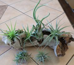 The NEW 6 pack by LazyRsAirPlants on Etsy