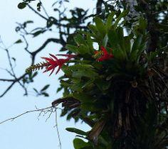 Aechmea nudicaulis, Bromelioideae, selva tropical del Atlántico, Caraguatatuba, SP, Brasil (MariaOgr) Etiquetas: brasil brasil verde bosque Lumix Panasonic selva bromelia Caraguatatuba Trilhas epifitas biodiversidad bromlias serradomar liliopsida magnoliophyta monocotiledóneas bromelie bromeliacae poales Commelinidae Bromelioideae bromlidas atlenticforest naturehotspot angiospermsplants