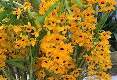 Orquídea Dendrobium Fimbriatum - Adulto