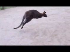 http://AllThingsPondered.com     The Wallaby Jumping Past Us at the zoo...