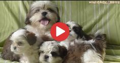 Videos Archives - Shih Tzu Buzz Small Puppy Breeds, Cute Dogs Breeds, Small Puppies, Dog Breeds, Shih Tzu Puppy, Shih Tzus, Puppy Hiccups, Puppies Gif, Cavalier King Charles